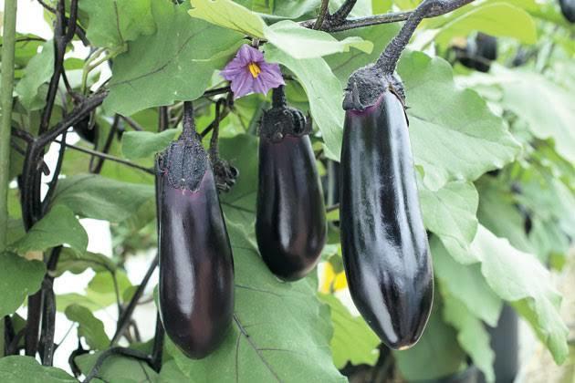ナスの育て方、栽培のご相談承ります 大きいナスをいっぱい取りたい方必見です!
