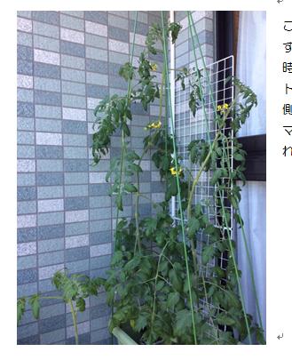 ベランダでの水耕栽培でトマト栽培のお話しをします 水耕栽培に興味があって、実際に挑戦してみたいと思っている方!