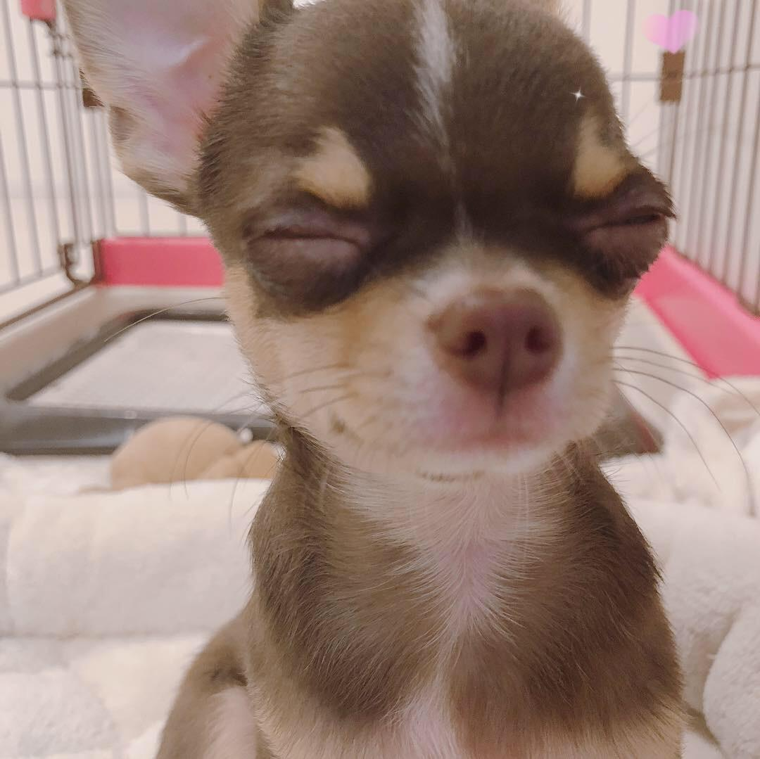 あなたの時間にチワワのYouTubeライブします チワワ、犬好きな人、動物好きな人など、