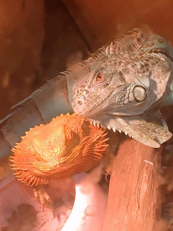これから爬虫類飼う人の御相談おききします 元爬虫類喫茶の店員が御相談に乗らせていただきます。