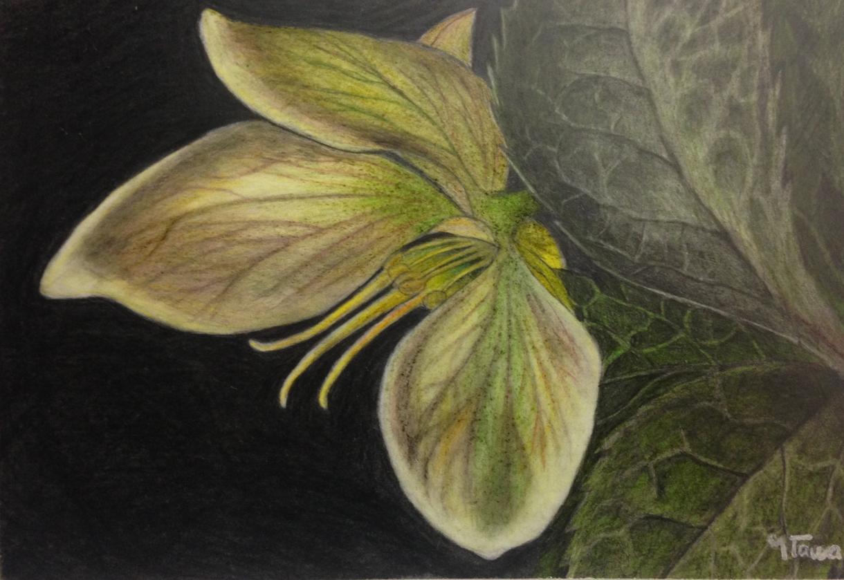 色鉛筆画のイラスト、描き方、教えます 肖像画、似顔絵、花、風景など色鉛筆画をもっと上手に描きたい方
