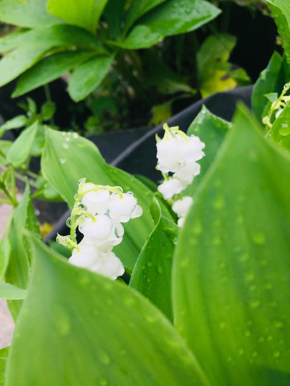 花の画像お渡しします 花、すずらん、雨に濡れたすずらん、ぼかし、