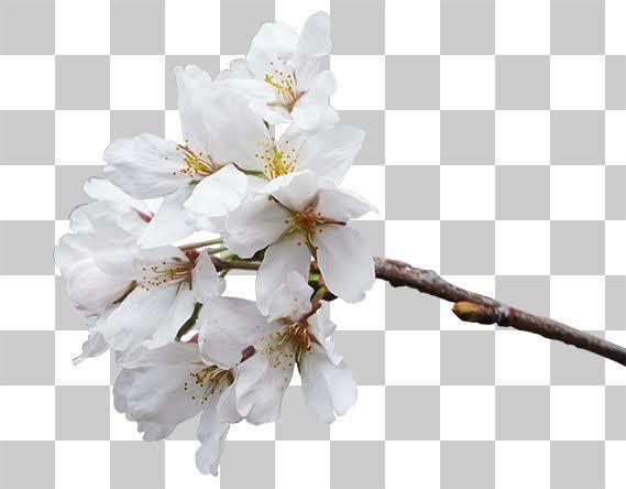 多分最安!画像・写真の白抜き(透明背景)作成します 楽天Amazonで使う白背景画像を格安で