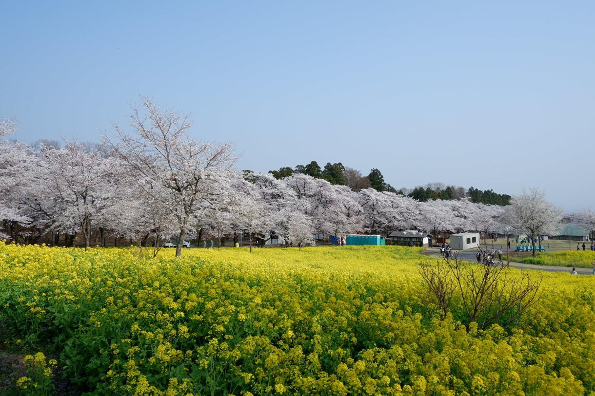 桜の写真提供します 趣味のカメラで撮った桜の写真を売ります