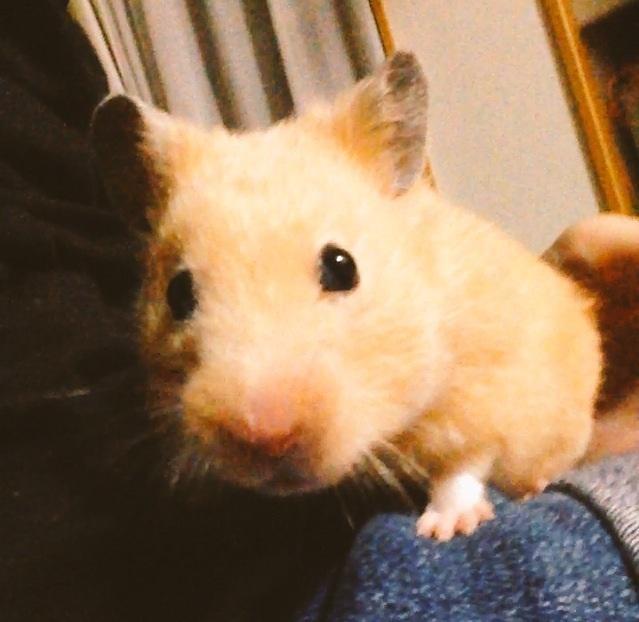 癒されたい方へ。私の飼っているハムスターの可愛い画像をあげます。