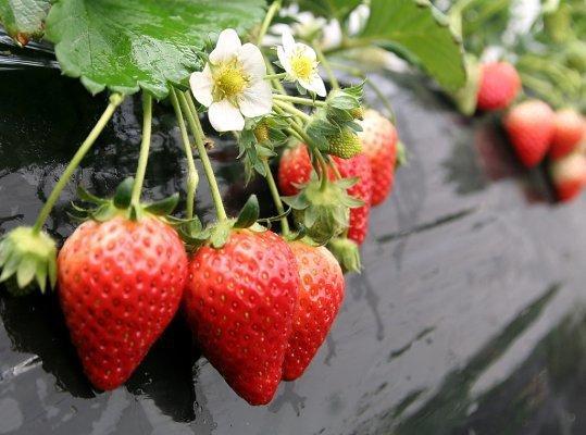 イチゴの育て方のご相談承ります イチゴを栽培しようと考えている方、育てている方必見です!