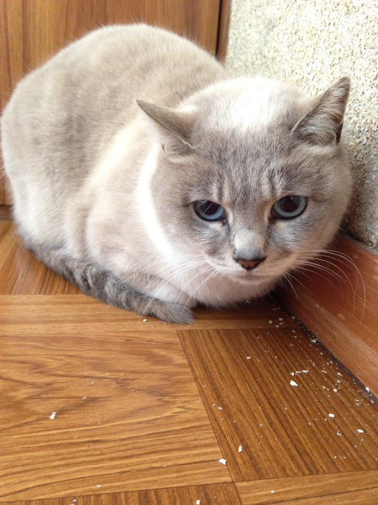 アナタの愛猫をキャラクター風にアレンジします。【正面顔アイコン】