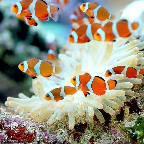 アクアリウム 水槽 淡水海水 珊瑚アドバイスします 病気 白点 濾過 砂 ph  水温 亜硝酸 相性 魚種 イメージ1