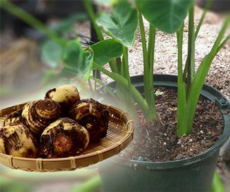 サトイモの育て方教えます 自身でサトイモを育てて見たい方必見です!