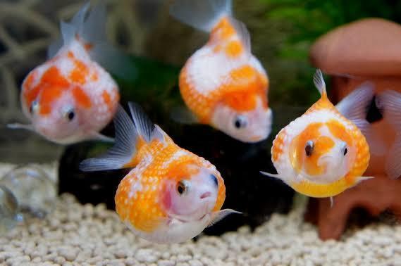 金魚、メダカ、熱帯魚、海水魚の飼育診断します 小型魚から大型魚、肉食魚まで、何でも飼育診断致します! イメージ1