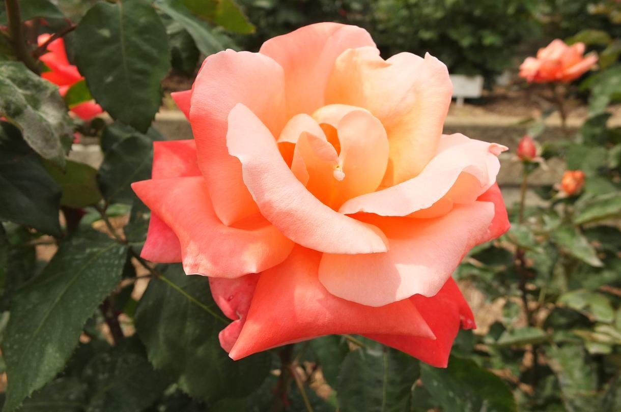 写真撮影承ります 今年も、ソメイヨシノ&アーモンドの花の写真、入荷しました☆