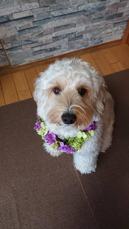 ワンちゃん&ネコちゃんの生花の首飾りを作ります 大切な家族の一員!記念にお写真を!