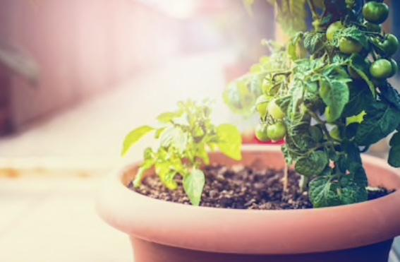 ベランダ菜園、プランター 栽培アドバイス致します 〜〜身近でできる野菜づくり〜〜
