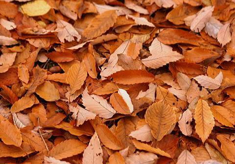群馬県内の落ち葉掃除します しっかり丁寧に!を心がけます! イメージ1