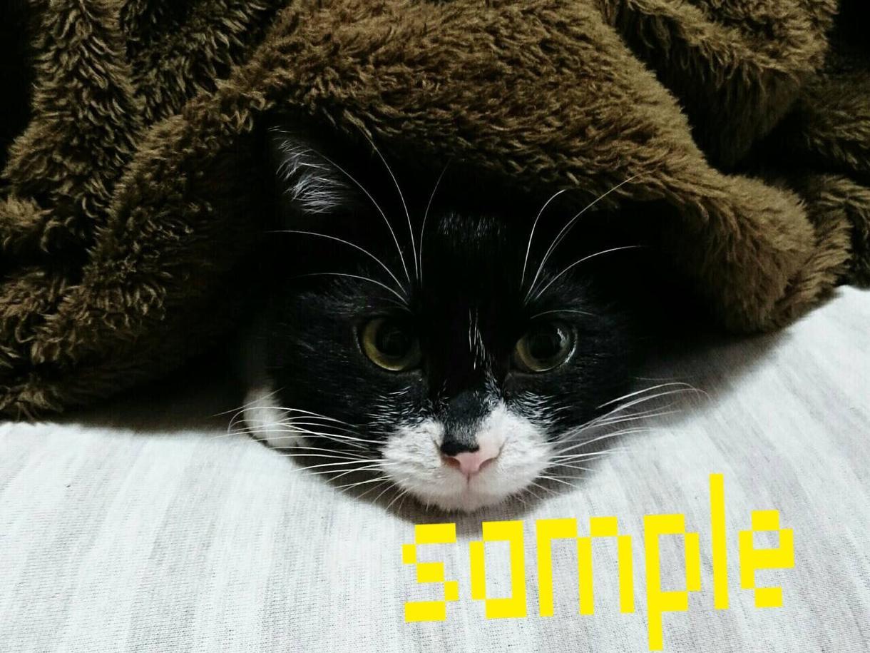 我が家の愛猫の写真をフリー素材としてお使い下さい!
