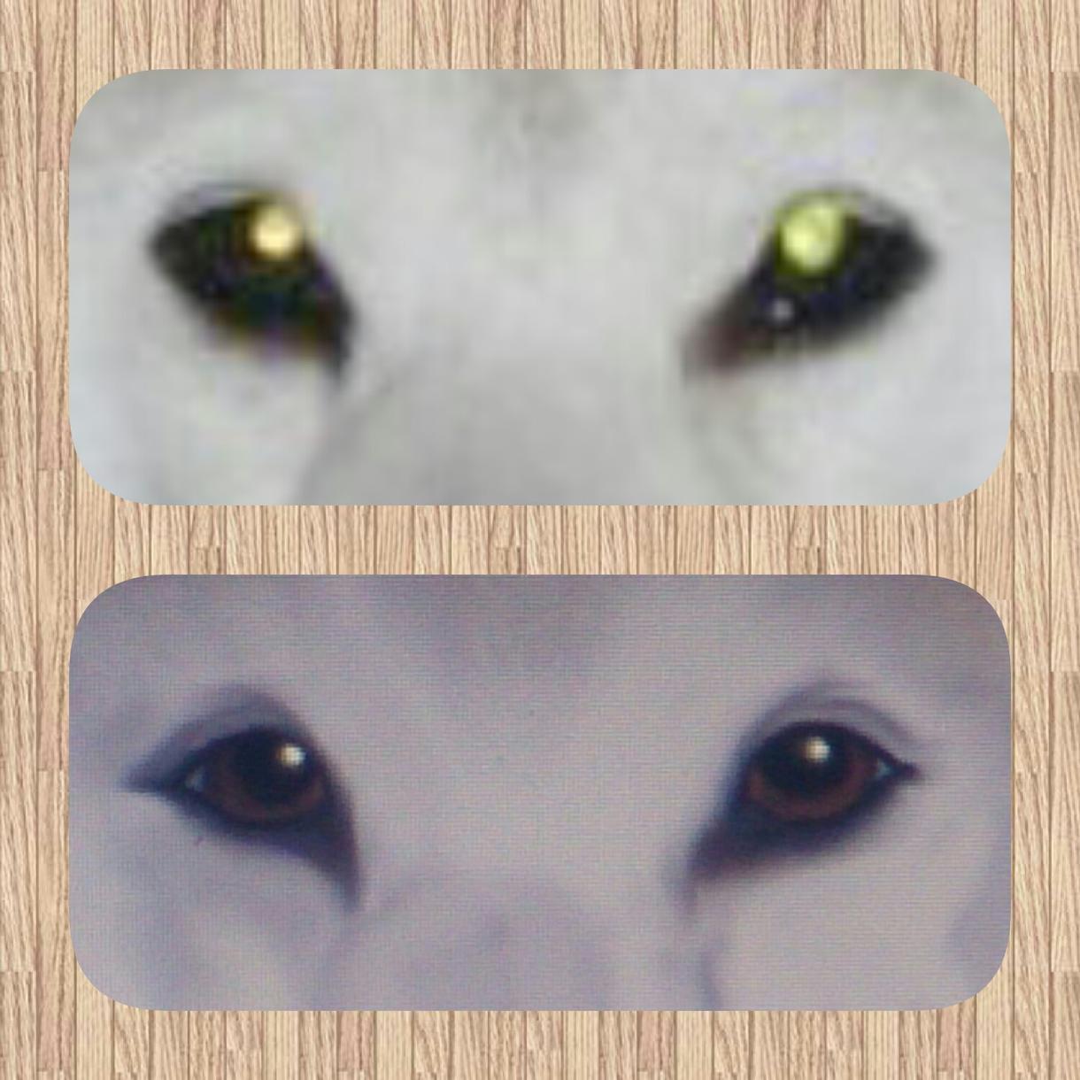 ペットの赤目を修正します 犬猫の飼い主さん、写真が綺麗に撮れなかった時に