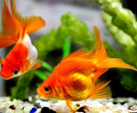 初心者さま向け!☆金魚の育て方☆ご相談承りますます ☆金魚の飼育☆ご検討中の方、これからの方へ☆ご相談ください。 イメージ1