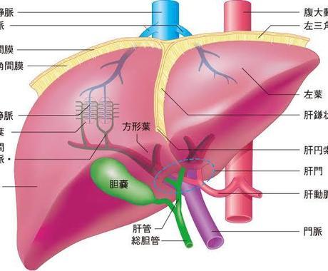 臓器別解剖生理学を指導します 苦手な臓器を克服して日頃の学習に役立てましょう。 イメージ1