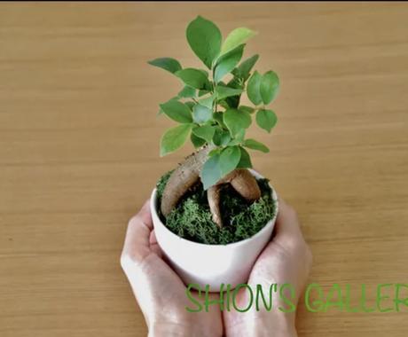 観葉植物全般の質問にお応え致します 10年以上観葉植物を扱っております。なんでも聞いて下さい^^ イメージ1